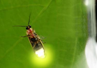 Kunang - kunang